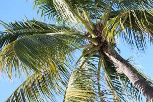 Castaway Cay palm tree